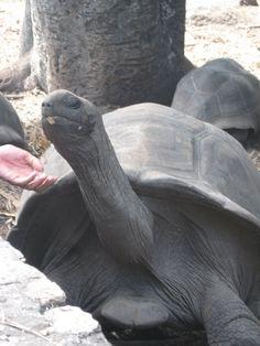 Tortuga de las Seychelles buscando mimo.   Alquilar un coche en el aeropuerto de Mahé: http://www.reservasdecoches.com/es/alquiler-de-coches/Mahe-Island_Seychelles-Airport.html