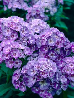White-eyed, deep lavender-purple fragrant flowers all summer.