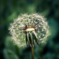 Dandelion by Lilian Putina on 500px