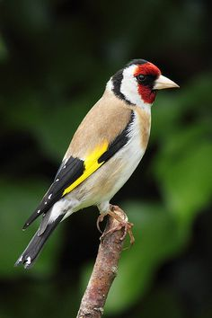 Goldfinch currently my favourite bird