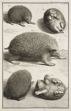 The hedgehog seen from several views from Albertus Seba's magnificent 1734 natural history, Locupletissimi rerum naturalium thesauri accurata descriptio.
