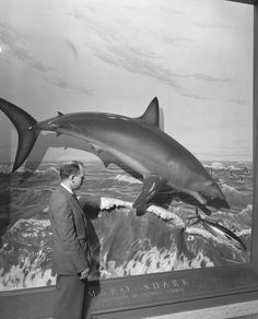 Visitor viewing Mako Shark diorama, Hall of Fishes. 1948. American Museum of Natural History