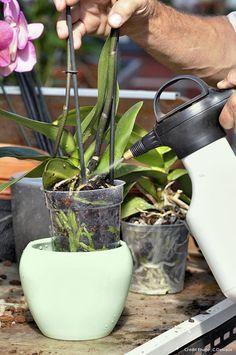Conseils d 39 arrosage pour les orchid es comment arroser une orchid e entretien plantes Comment entretenir orchidee