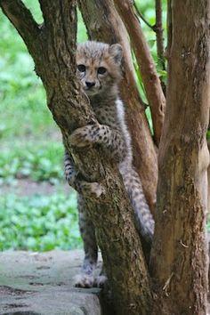 5 week old baby Cheetah. Baby Cheetahs, Kittens, Cats, Marine Life, Cute Baby Animals, Mammals, Tigers, Lions, Dog Cat