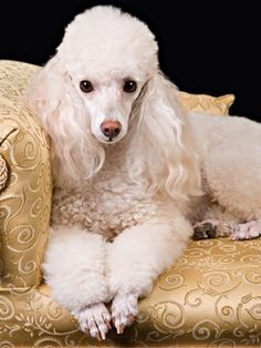 French Poodle lounging on brocade settee... pampered much?