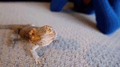 yawning bearded dragon