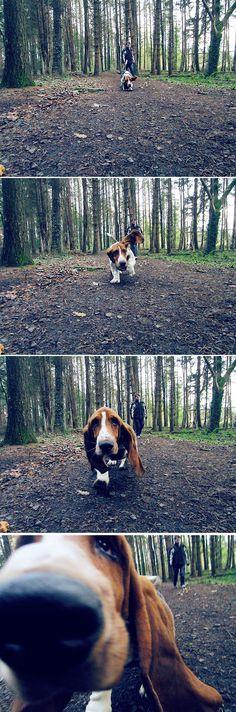Basset hound love ❤