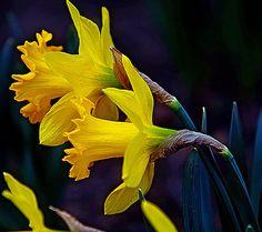 Daffy-down-dilly, via Flickr.