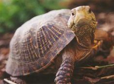 ¿Cuál es la mejor alimentación de la tortuga de tierra? Te damos toda la información que necesitas para mantener a tu tortuga bien alimentada y sana.