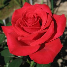 Red Chateau ~ Hybrid Tea