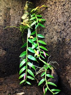 Dendrobium pierardii x loddigesii