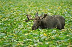Moose deep in lilly pads in Grand Teton National Park, WY.