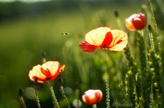 Poppy Light by Shastajak, via Flickr