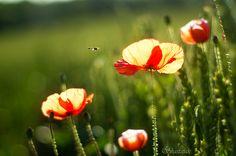 Poppy Light by Shastajak, via Flickr