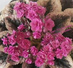 African Violet Plant Cajuns Hot Expectations | eBay Cajun's Hot Expectations (10584) 01/11/2013 (B. Thibodeaux) Double hot pink star/variable raspberry speckled edge. Variegated dark green, cream and pink, plain, heart-shaped, serrated/red back. Standard