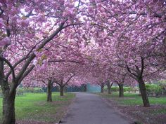 #ridecolorfully to Cherry Blossoms, Brooklyn Botanical Gardens, NYC