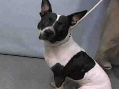 Urgent Manhattan - EMILY - #A1093619 - FEMALE WHITE/BLACK PIT BULL MIX, 4 Yrs - STRAY - NO HOLD Reason STRAY - Intake 10/16/16 Due Out 10/19/16 - NERVOUS, TENSE BUT ALLOWS HANDLING, WHINES SEEKING TO LEAVE