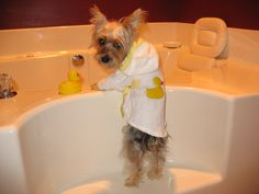 Tucker getting ready for his bath with his little rubber ducky and bath robe. Pic taken by Pam Ward
