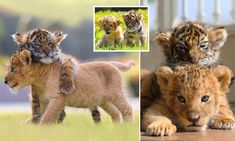 Big cats are not generally known for being friendly creatures but these adorable photographs show how a pair of newborn cubs have become the best of friends at a zoo in Japan.