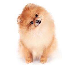 Happy Friday ⭐️ via @pomeranianworld