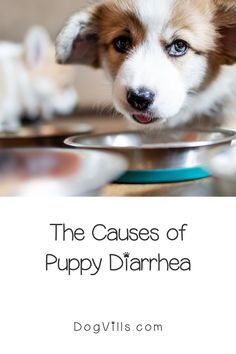 What puppy food is best for diarrhea?That question is far more common than you might think, especially considering the fact that puppies have sensitive tummies! Best Dog Food, Best Dogs, Puppy Food, Dog Food Recipes, Corgi, Puppies, This Or That Questions, Animals, Corgis