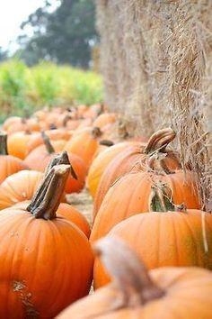 pumpkin patch, hay bales, spies, fall pumpkins, thing fall, autumn pumpkin, autumnfavorit season, pumpkin pies, halloween