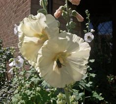 With the bee population in decline it was wonderful to see how much they love my urban hollyhocks. Bees were on most of the blooms.
