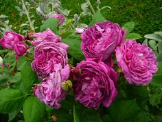 reine des violettes      We had one of these, and it would bloom up to Christmas Eve - very nice rose