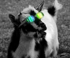 Image result for animals with sunglasses images