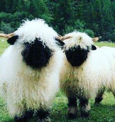 Valais Blacknose Sheep from Switzerland - my dream sheep! Well, one of them. So many sheep, so little time Cute Baby Animals, Animals And Pets, Funny Animals, Farm Animals, Nature Animals, Wild Animals, Beautiful Creatures, Animals Beautiful, Beautiful Cats