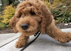 Art Goldendoodle! puppy-love