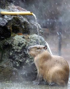yungsang:      カピバラ温泉      A capybara sits under stream of hot water cascading onto it to keep warm during a snowy day at Saitama children's zoo near Tokyo