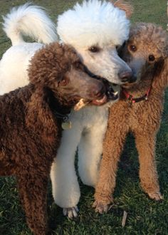 Good friends always stick together. With the handsome Ringo in the middle (my fave Poodle, after my own of course! I Love Dogs, Cute Dogs, Awesome Dogs, Red Poodles, French Poodles, Poodle Cuts, Poodle Grooming, Dog Grooming, Dog Friends