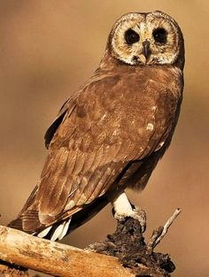 Marsh Owl, a resident of Africa and Madagascar. South African Owls, About Owls, Birds of Prey Owl Photos, Owl Pictures, Owl Bird, Pet Birds, South African Birds, Owl Rocks, World Birds, Flightless Bird, Beautiful Owl