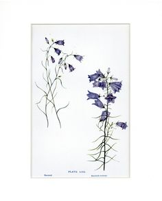 Beautiful Antique 1908 Botanical Print of Harebell Flowers by Elizabeth Gwatkin by thinaircreations on Etsy