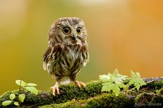Miniature Northern Saw-Whet Owl on the moss, by BigBrotherBear via Flickr