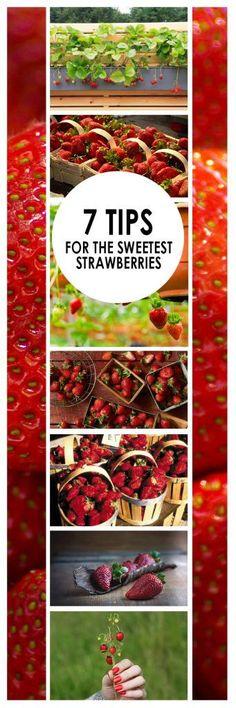 Strawberries, How to Grow Strawberries, Fruit Gardening, Fruit Gardening Tips, Popular Pin, Gardening Hacks, Gardening tips and tricks, DIY Garden, Gardening