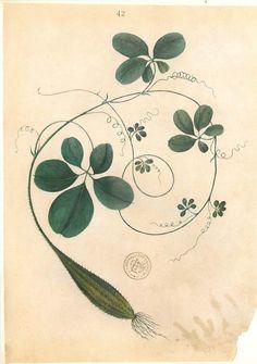 Vintage Botanical Art Print Dioscorea Timor Flora by carambas
