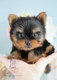 Puppy For Sale #266 Teacup Yorkie Puppy