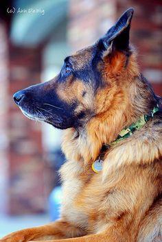 Very beautiful #German #Shepherd #Dog
