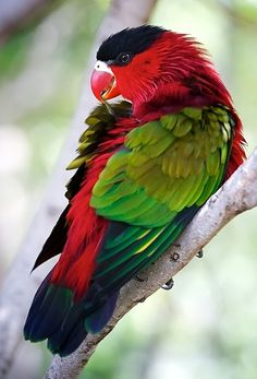 The Papuan King Parrot, also known as the Green-winged King Parrot, is found in West Papua and Papua New Guinea. Its natural habitats are subtropical or tropical moist lowland forests and subtropical or tropical moist montane forests.