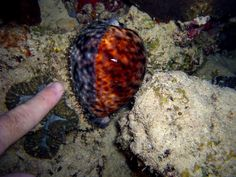 Cypraea tigris) Porcelaine tigre de l'océan Indien