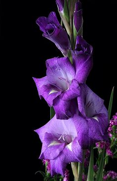 gladiolus - general reference for buds and blooms