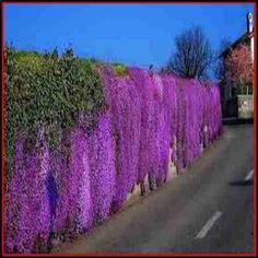 50 Purple Rockress Seeds  Under The Sun Seeds by UnderTheSunSeeds, $1.99