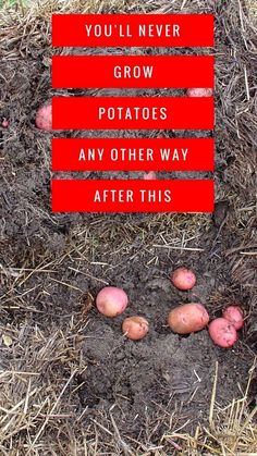 Once you try the straw bale gardening method for growing potatoes, you'll never want to use any other method again. A straw bale garden isn't just good for potato growing though. It works for your entire vegetable garden. #VegetableGarden