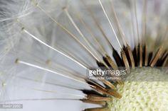Close up of dandelion (taraxacum) seed head. Shallow dof... #testadellacqua: Close up of dandelion (taraxacum) seed head.… #testadellacqua
