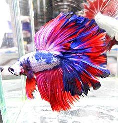 Live Betta Fish blue pink white red purple HM male <>  2815 <> ROYAL RAPTURE
