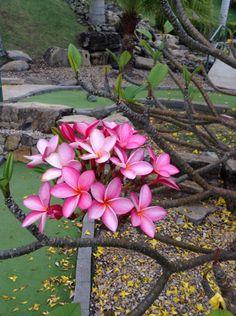 Exotic flower, pink plumeria