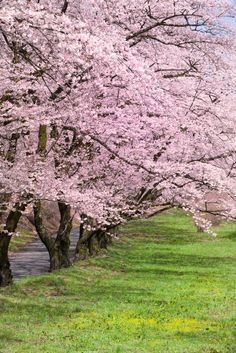 Beautiful Nature Wallpaper, Beautiful Images, Nature Pictures, Cool Pictures, Cherry Blossom Japan, Cherry Blossoms, Beautiful Places In Japan, Blossom Trees, Flowering Trees