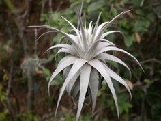 Air Plant | Tillandsia